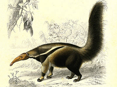 Giant Anteater Print by Collection Abecasis
