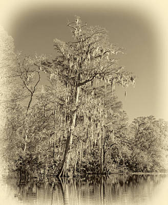 Alligator Bayou Photograph - Giant Cypress - Sepia by Steve Harrington