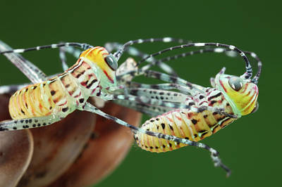 Giant Katydid Hatchlings Print by Tomasz Litwin