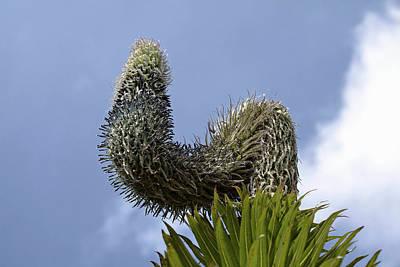 Lobelia Photograph - Giant Lobelia (lobelia Wollastonii by Martin Zwick