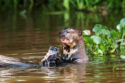 Giant Otter Feeding Print by Paul Williams