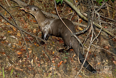 Otter Photograph - Giant River Otter by Gregory G. Dimijian, M.D.