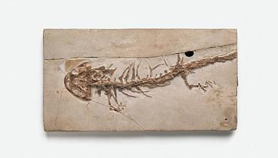 Giant Salamander Fossil Print by Dorling Kindersley/uig