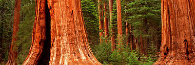 Sequoia Photograph - Giant Sequoia Trees In A Forest by Panoramic Images