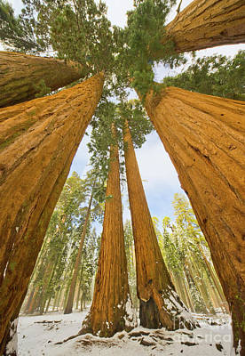 Giant Sequoias And Snow Sequoia Natl Print by