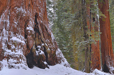 Giant Sequoia's - Grant Grove Print by Stephen  Vecchiotti