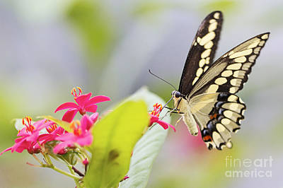 Flowers Photograph - Giant Swallowtail II by Pamela Gail Torres
