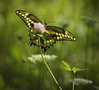 Giant Swallowtail On Clover 1 Print by Thomas Young