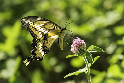 Giant Swallowtail On Clover 2 Print by Thomas Young
