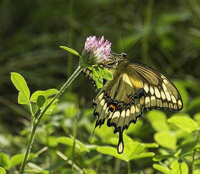 Giant Swallowtail On Clover 3 Print by Thomas Young