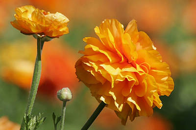 Color Photograph - Giant Tecolote Ranunculus - Carlsbad Flower Fields Ca by Christine Till