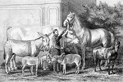 Donkey Photograph - Gigantism And Dwarfism In Farm Animals by Bildagentur-online/tschanz
