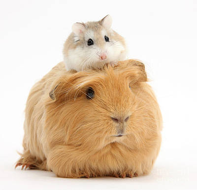 Ginger Guinea Pig And Roborovski Hamster Print by Mark Taylor