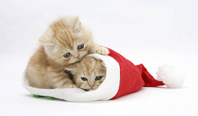 Ginger Kittens In Christmas Hat Print by Mark Taylor