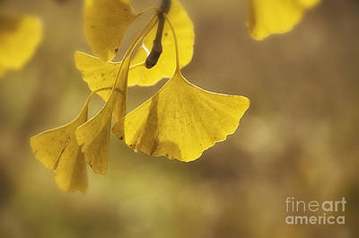 Gingko Gold Print by Terry Rowe