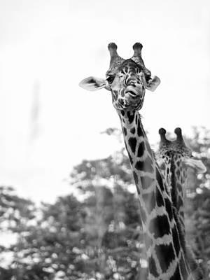 Black_white Photograph - Giraffe by Andrea Bruns