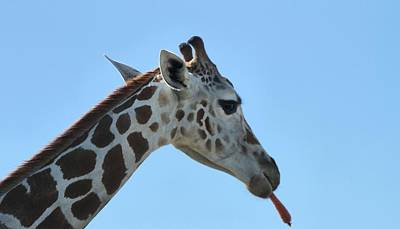 Carrot Photograph - Giraffe by Dan Sproul