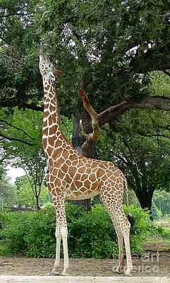 Giraffe Eats-09053 Print by Gary Gingrich Galleries