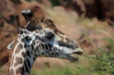 Giraffe Feeding Print by Daniel Hagerman