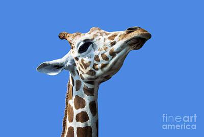 Pompous Photograph - Giraffe Pride by John Greim