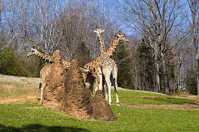 Framed Art Digital Art - Giraffes By Termite Mound by Chris Flees