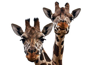 Giraffes  Print by Marcia Colelli