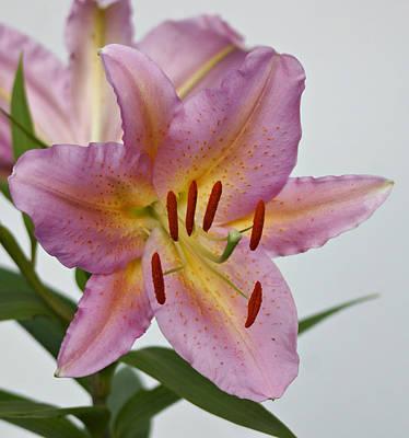 Girosa Lily Print by Sandy Keeton