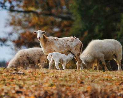 Giving Nourishment Ewe And Lamb In Autumn Photograph By