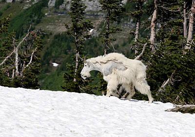 Mountain Goat Photograph - Glacier Goat by Aaron Aldrich