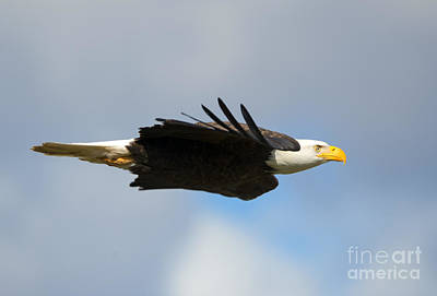 American Bald Eagle Photograph - Glide by Mike Dawson
