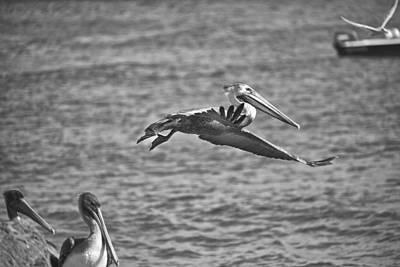 Boac Photograph - Gliding Bw by Joel P Black