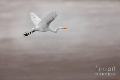 Egret Photograph - Gliding Egert by David Millenheft