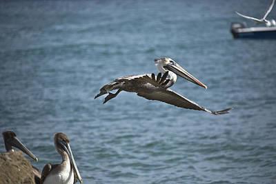 Boac Photograph - Gliding by Joel P Black