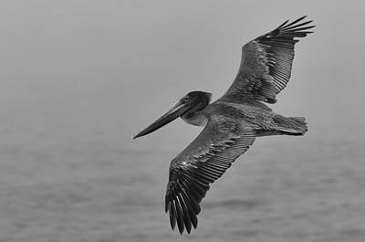 Gliding Pelican In Black And White Print by Sebastian Musial