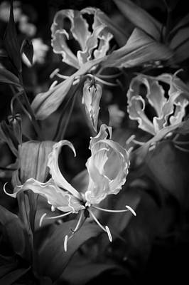 Gloriosa Lily Flame Lily Fire Lily  Bw Print by Rich Franco