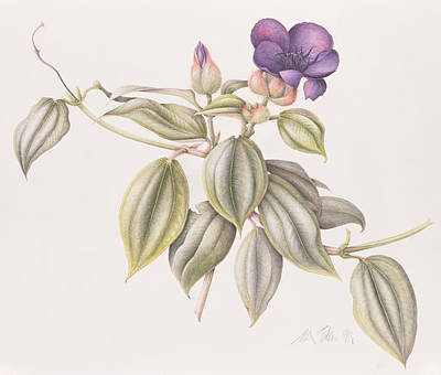 Glory Flower Tibouchina Urvilleana 1999 Wc On Paper Print by Margaret Ann Eden