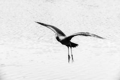 Fauna Digital Art - Glossy Ibis Flying Dynamics  by Yevgeni Kacnelson