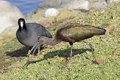 Glossy Ibis Print by Shoal Hollingsworth