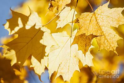 Glowing Fall Maple Leaves Print by Elena Elisseeva