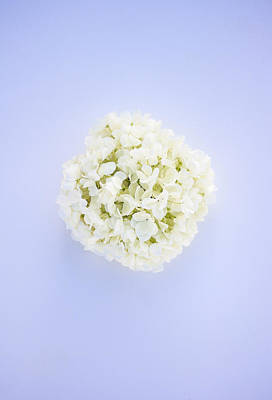 Annabelle Photograph - Glowing Hydrangea by Parker Cunningham