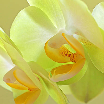 Orchids Photograph - Glowing Orchid - Lemon And Lime by Gill Billington