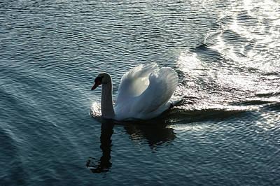 Pompous Photograph - Glowing Silver Wake - The Pompous Territorial Swan by Georgia Mizuleva