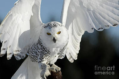 Owl In Flight Photograph - Glowing Snowy Owl In Flight by Inspired Nature Photography Fine Art Photography
