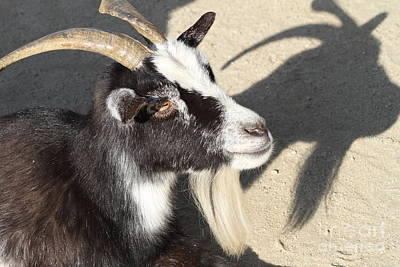 Goat 7d27402 Print by Wingsdomain Art and Photography