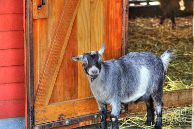 Goat At The Barn Door Print by Jimmy Ostgard