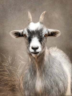 Goat Portrait Print by Lori Deiter