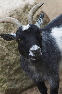 Julie Smith Photograph - Goat Smile by Julie Smith