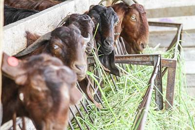 Goat Photograph - Goats Eat Hay by Photostock-israel