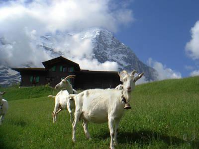 Saanen Goat Photograph - Goats In The Swiss Alps by Tara Roberts