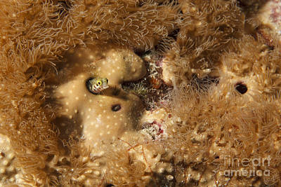 Underwater Photograph - Goby Fish And Coral by Vanessa Devolder